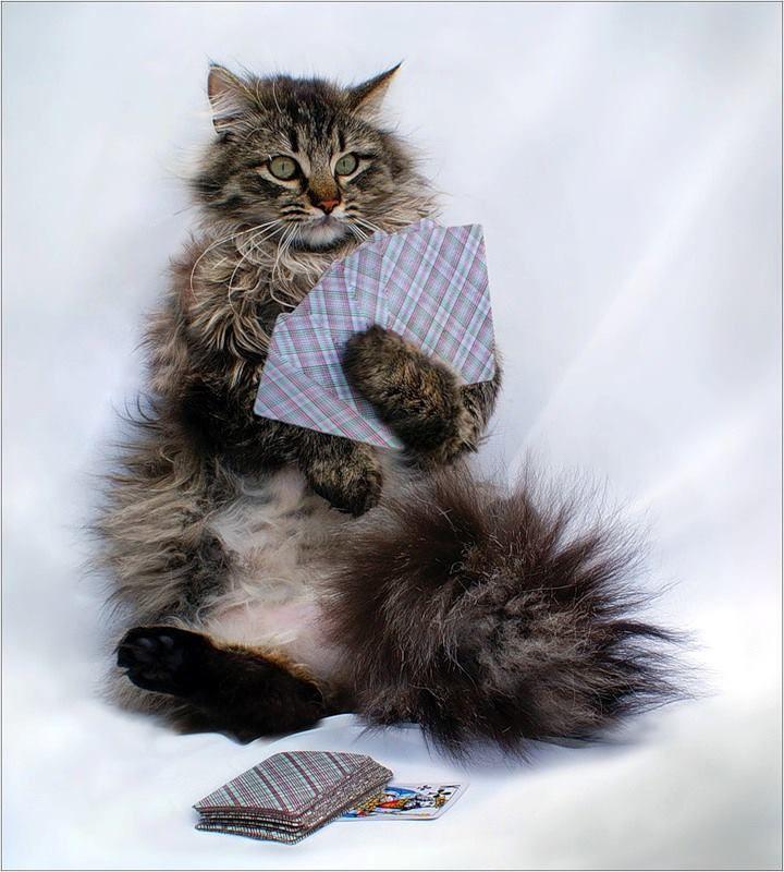 Gato sentado jugando a las cartas